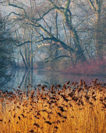 Sunlit Reeds by Phil Mann