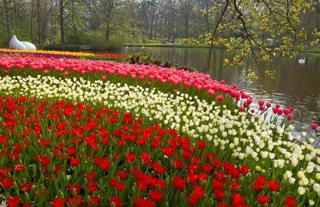 Tulip Garden by Rubeena Kunnath Parambil