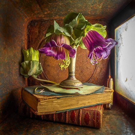 Photo study of <i>Cobaea scandens</i> by Simon Schollum