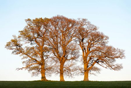 Oak Trees in Winter by Clare Park