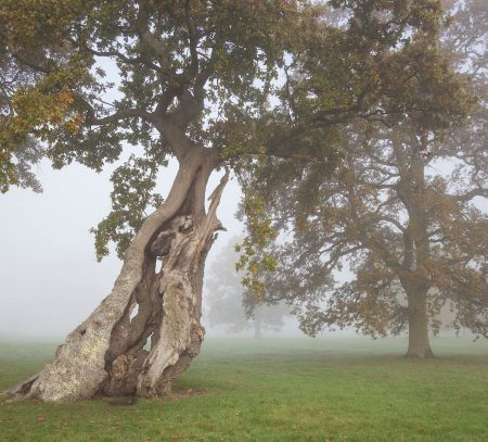 Ancient Oaks on a Misty Autumn Morning by Andrew Lawson