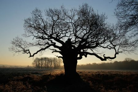 Oak Tree Silhouette II by Juliette Wiles
