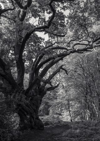 King Oak by David Clarke