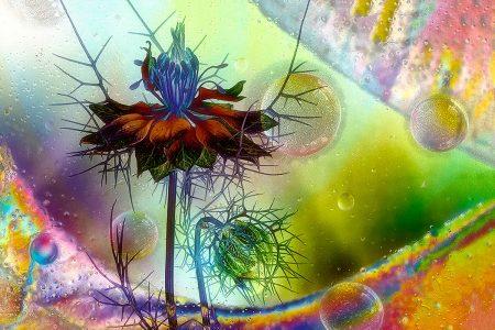Iced <i>Nigella</i> by Dianne English