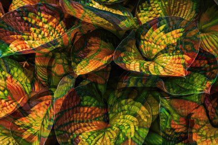 Indian Corn <i>Hosta</i> by Cindy Vondran