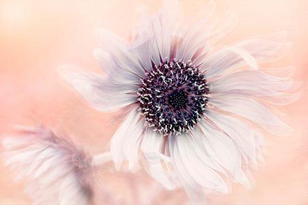 <i>Berkheya purpurea</i> by Jacky Parker