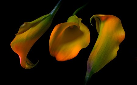 Calla Lily Curves by Alison Lawrence