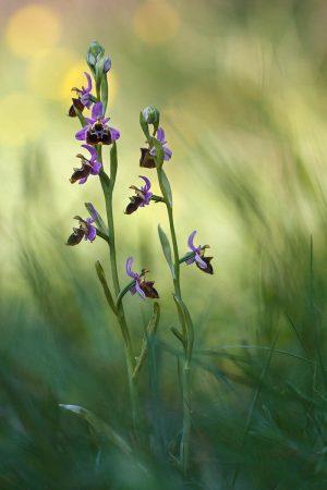 <em>Ophrys Fuciflora</em> by Monica Siri
