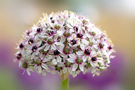 <em>Allium</em> 'Silver Spring' by Jacky Parker