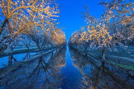 Almond Blossom by Jean Li
