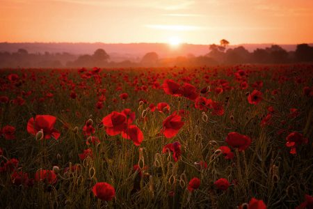 Blood-Red Poppies by Simon Lea