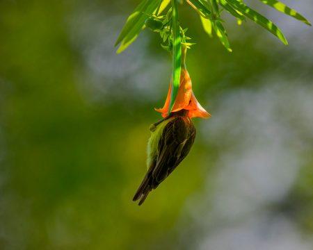 Sunbird in Flower by Wei Fu