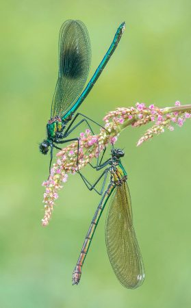 The Banded Demoiselles by Tony North