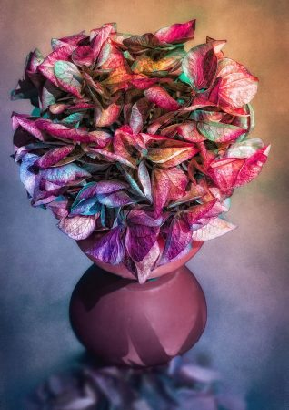 <em>Hydrangea</em> by Christina Heinz