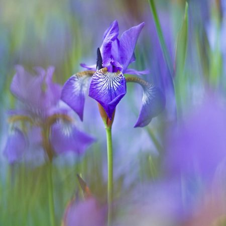 <em>Iris</em> after the Rain III by Rachele Z. Cecchini
