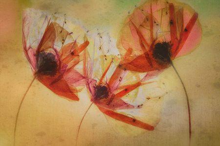 Poppy Seeds by Nel Talen
