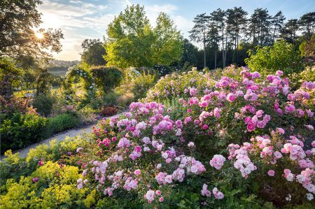 Evening Light in a Luxembourg Rose Garden by Marianne Majerus