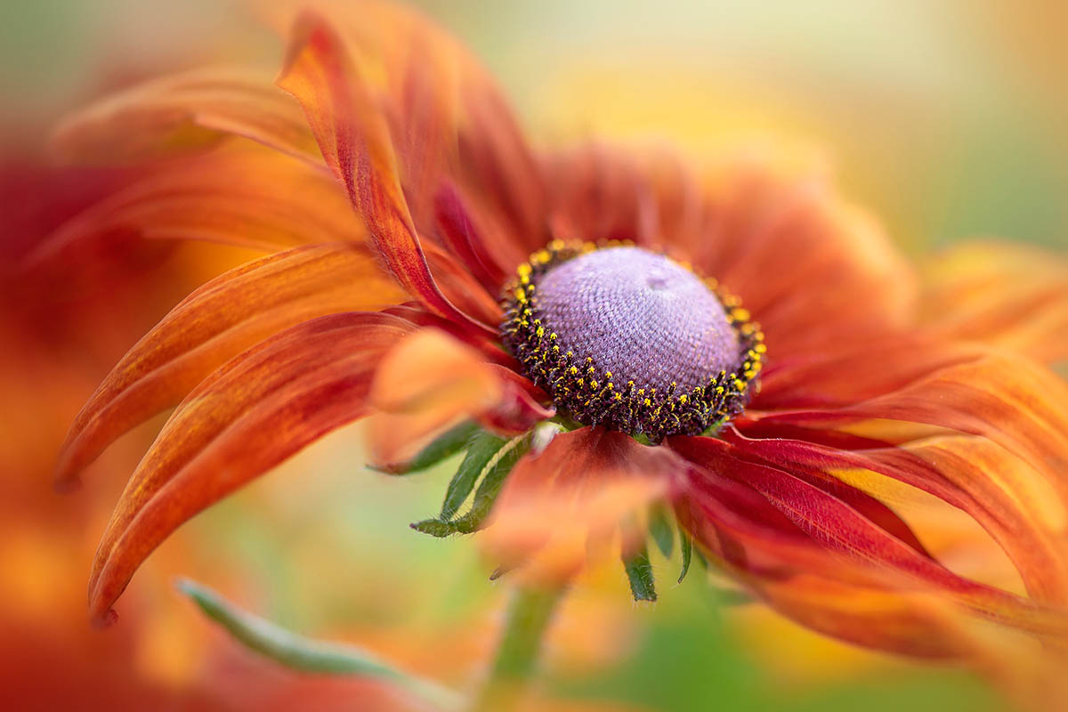Autumn <i>Rudbeckia</i> by Jacky Parker