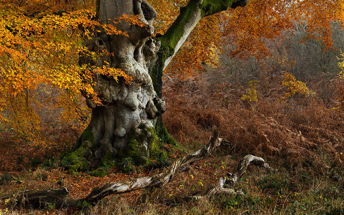 The Ancient Beech by Lesley Gooding