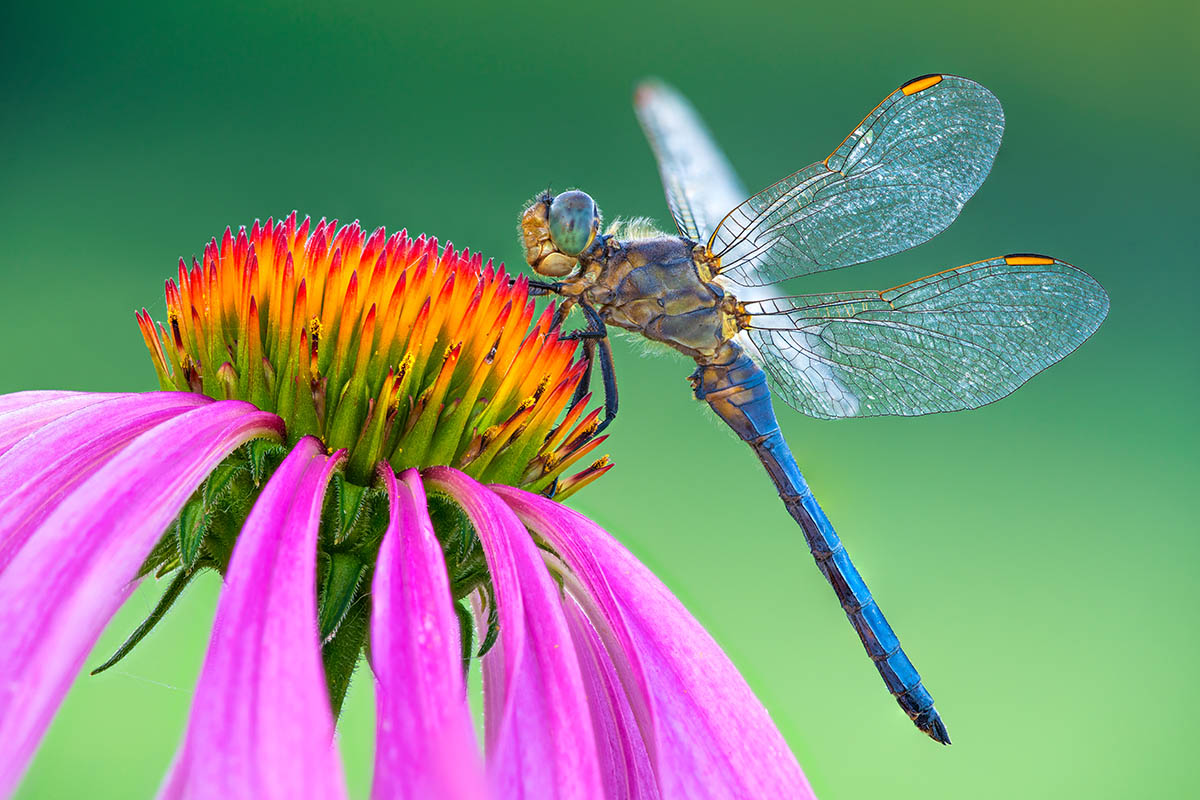 Male Keeled Skimmer by Petar Sabol