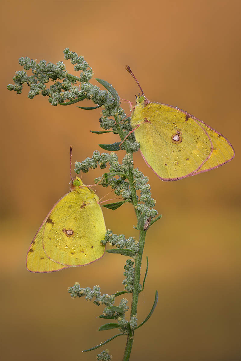 Double Colias by Michael Barbieri