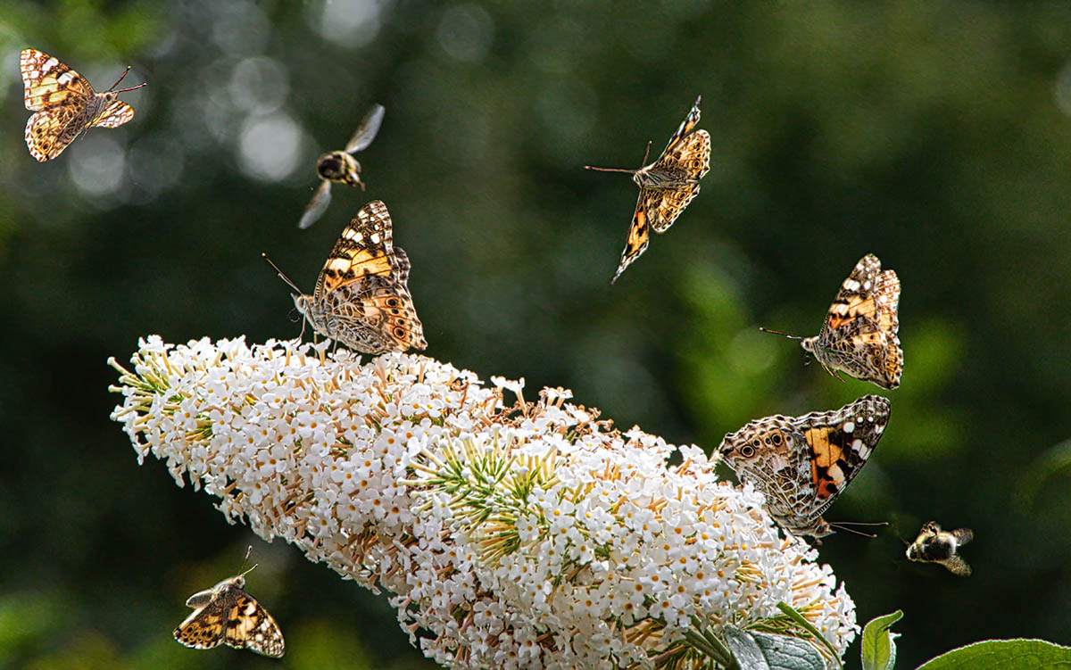 Painted Lady Invasion by Alan Clark