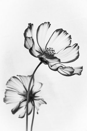 Ethereal <i>Cosmos</i> by Anne MacIntyre