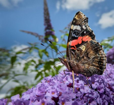 Red Admiral on <i>Buddleja</i> by Wendy North