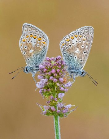 Common Blues on Apple Mint by Tony North