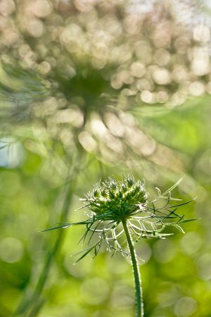 Wild Carrot Flowers in the Late Afternoon by Rachele Z. Cecchini