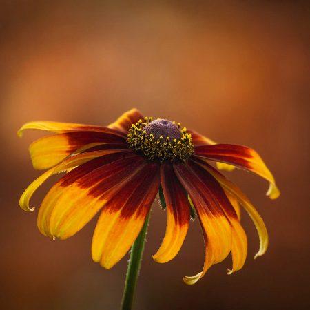 <i>Rudbeckia</i> at Sunset by Molly Hollman