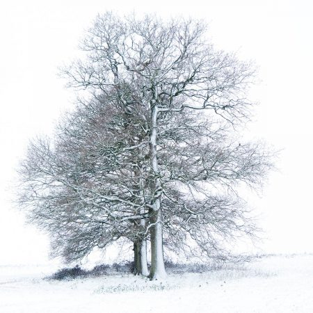 Oak Trees in the Snow by Gilly Hopson