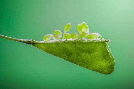 Shepherd's Purse Seed by Zhang Ye Fei