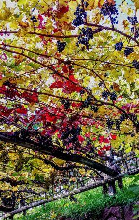 Grapes by Bolonie Shuhaibar