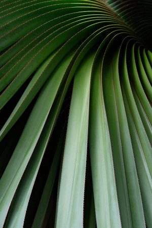 <em>Pandanus heterocarpus</em> by Tracy Hallett