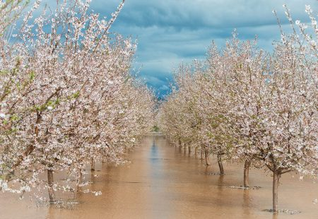 The Almond Blossoms after Rain by Jean Li