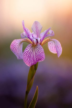 Purple Veins by Claudia Gaupp