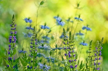 <em>Nigella</em> and <em>Salvia</em> in the Early Morning by Rachele Z. Cecchini