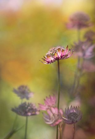 Sunlit <em>Astrantia</em> by Molly Hollman
