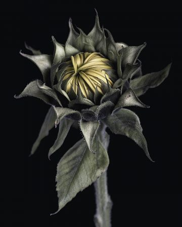 <em>Helianthus</em> by Justin Garner