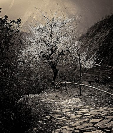 The Blossom Trees by David Malikoff