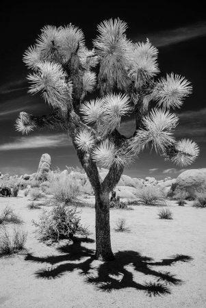 Joshua Tree by Gigi Williams