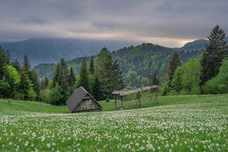 Daffodils by Luka Esenko