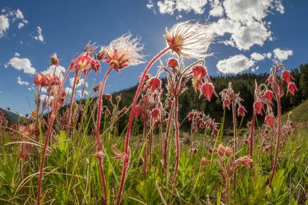 Prairie Smoke by Jennifer Guyton