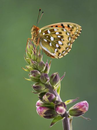 Dark Green Fritillary on Foxglove by Tim Hearn