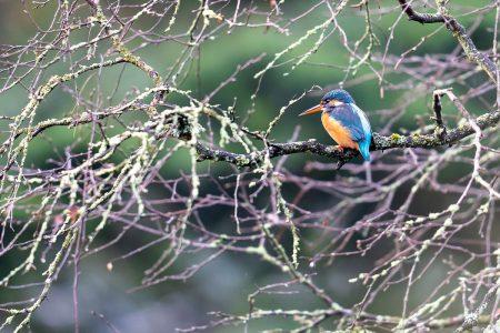Kingfisher by Bob Riach