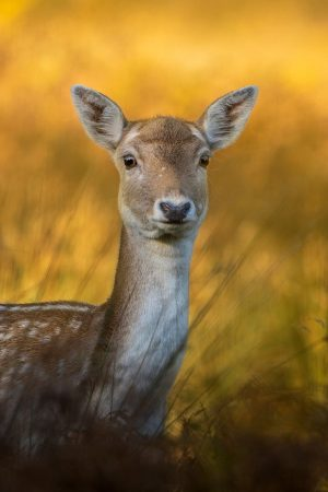Portrait of a Young Fallow Deer by Weng Lee