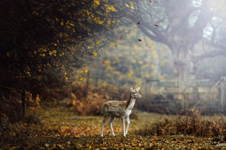 Young Fallow Deer by Weng Lee