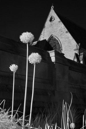 Alliums in the Gardens by Carolyn Bray