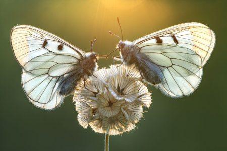 Butterfly Dance by Petar Sabol